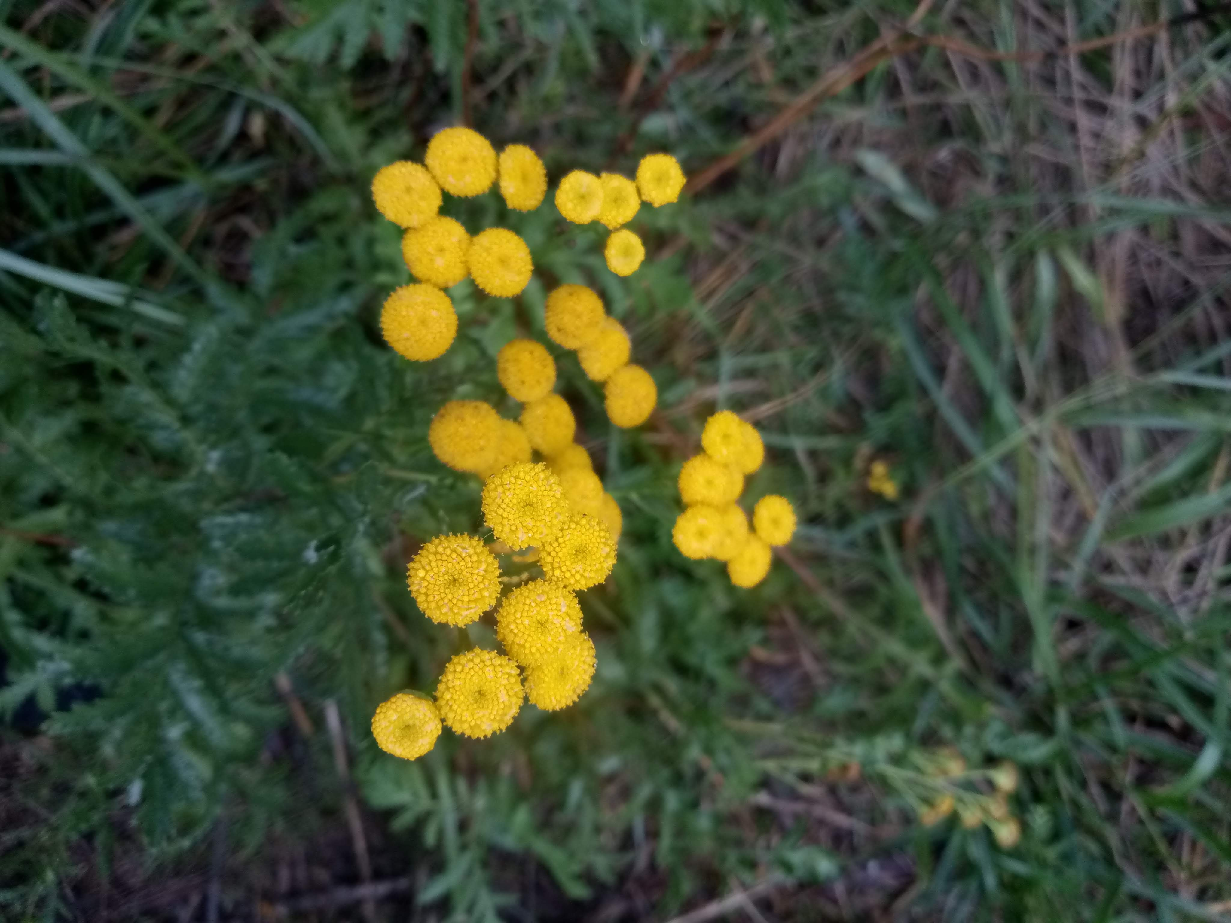 Autumn tansy photo 3