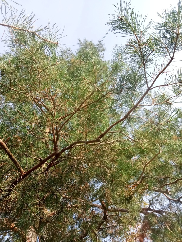 Pine tree photos