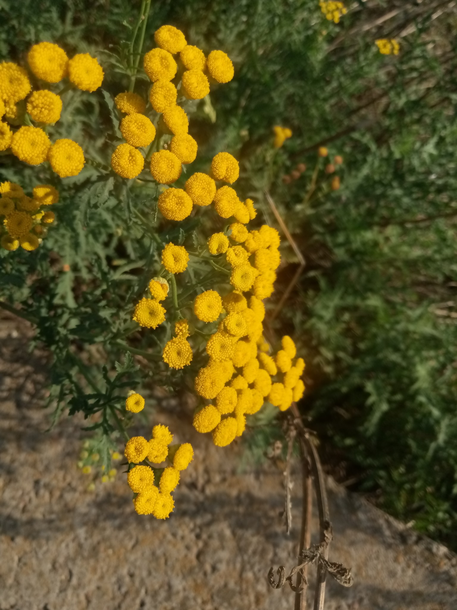 Autumn tansy photo 5
