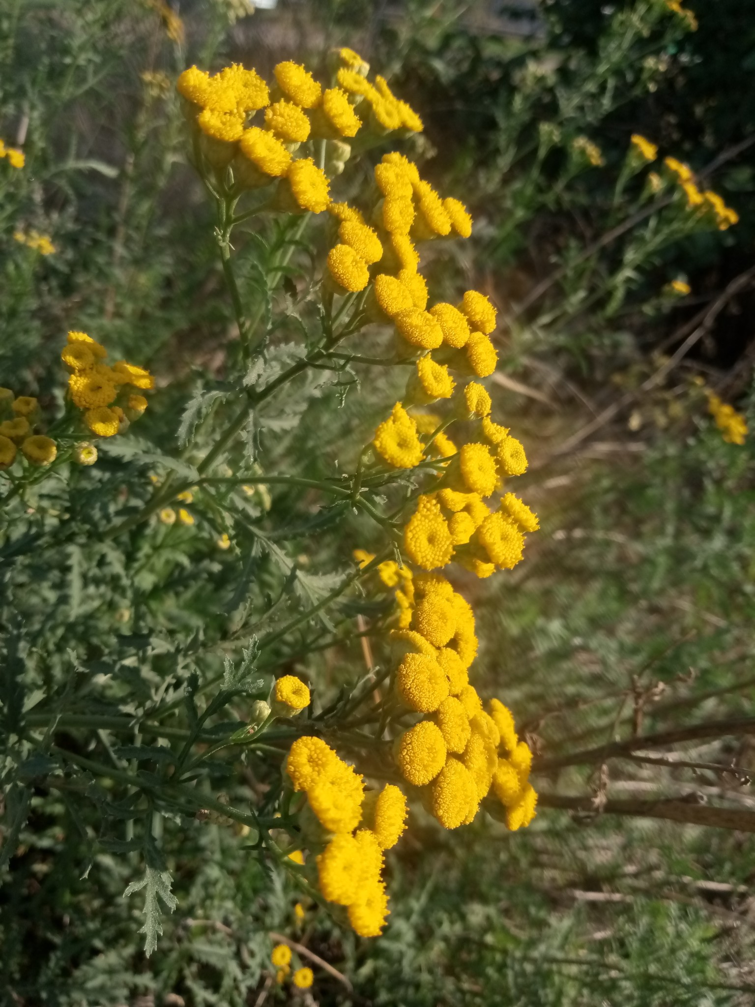 Autumn tansy photo 7