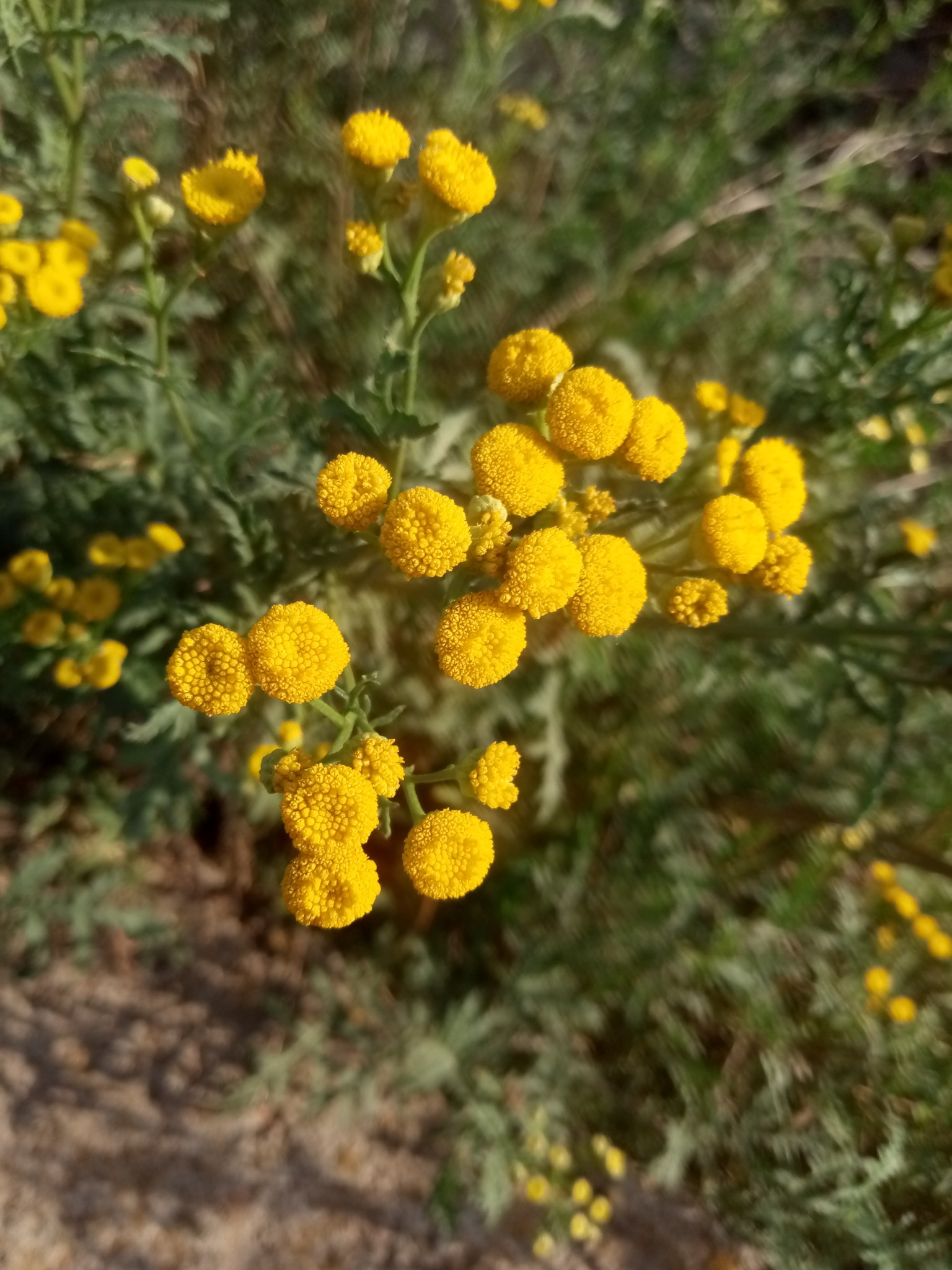 Autumn tansy photo 8