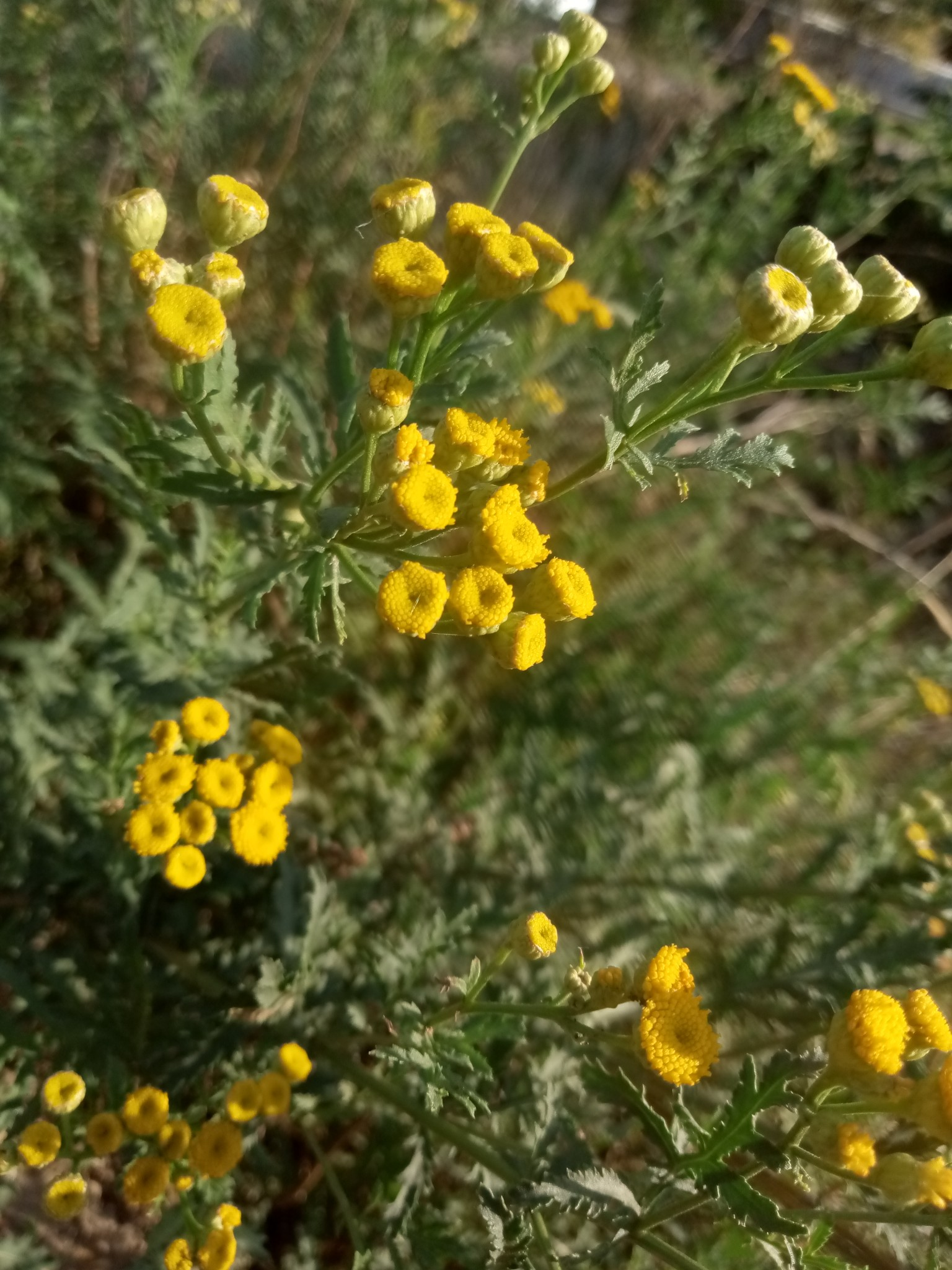 Autumn tansy photo 9