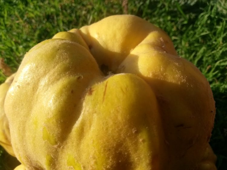 Autumn quince beauty photos part 1