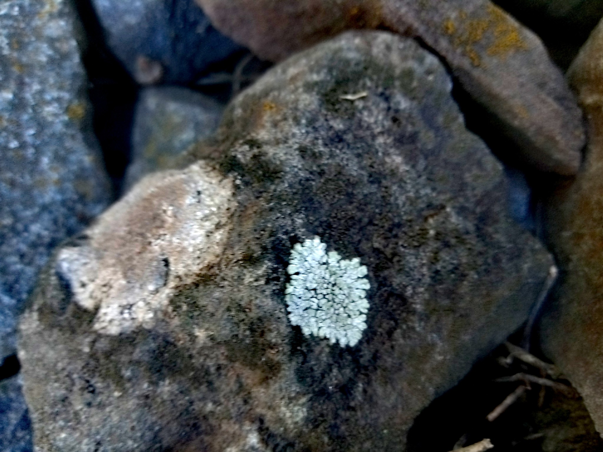 lichens on stones photo 2