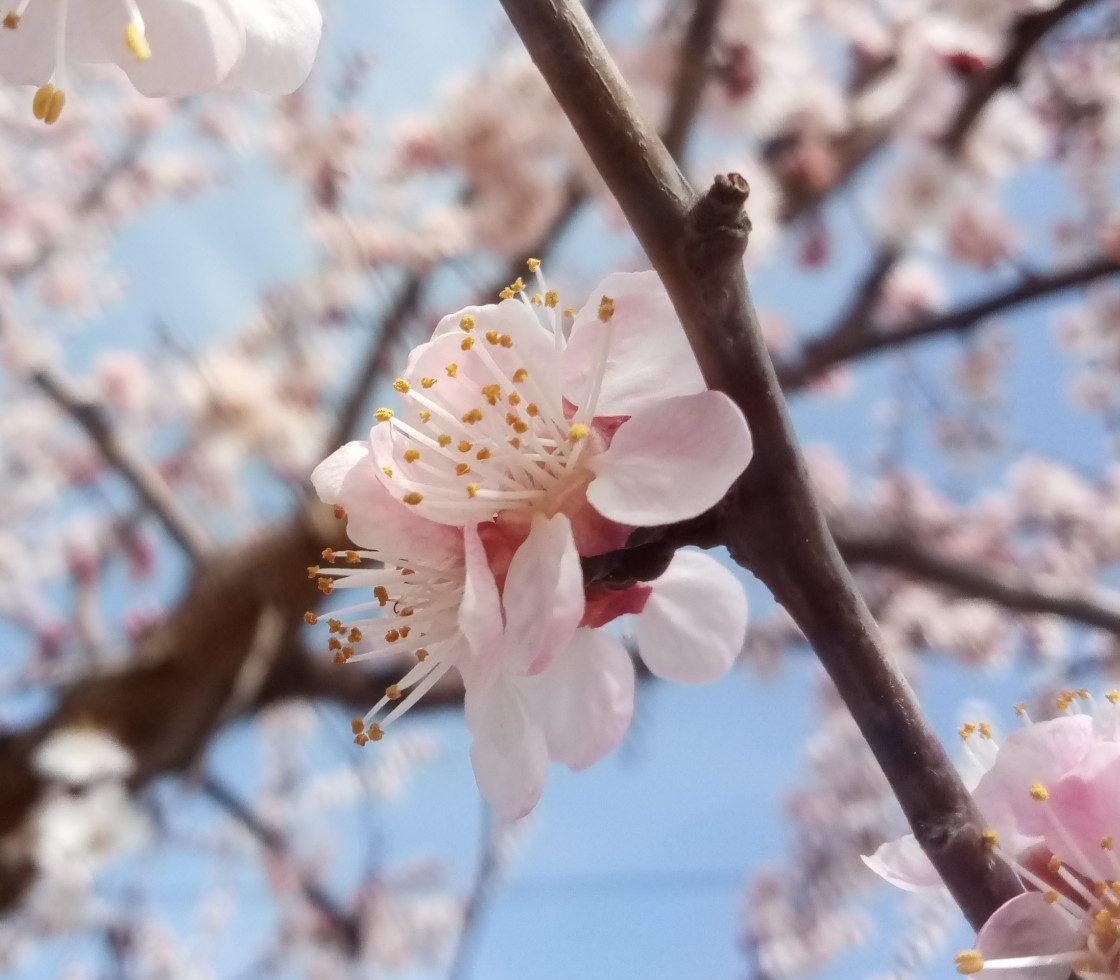 Flowering apricot tree – beautiful photos . Part 1