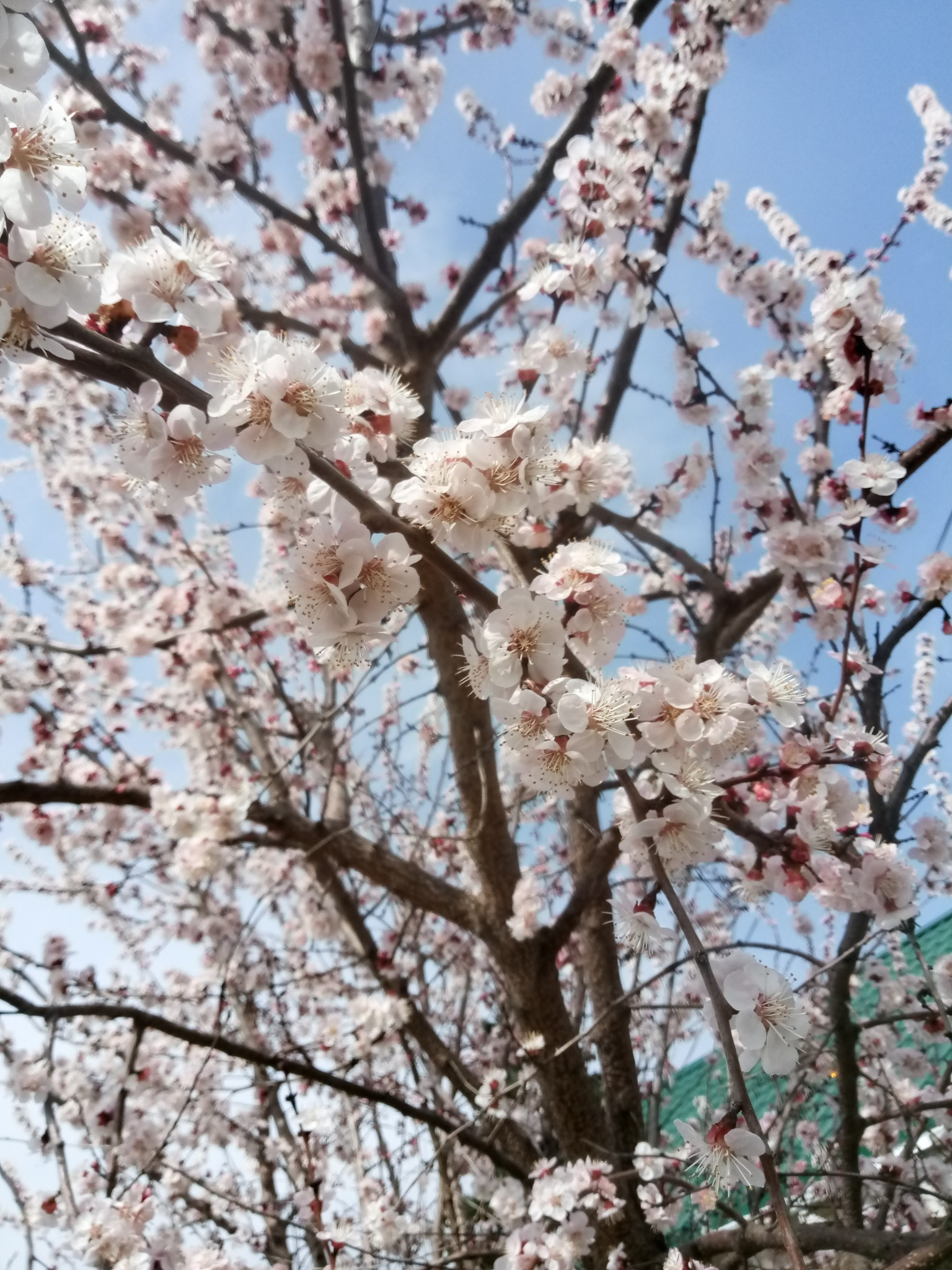 Apricot blossoms pictures