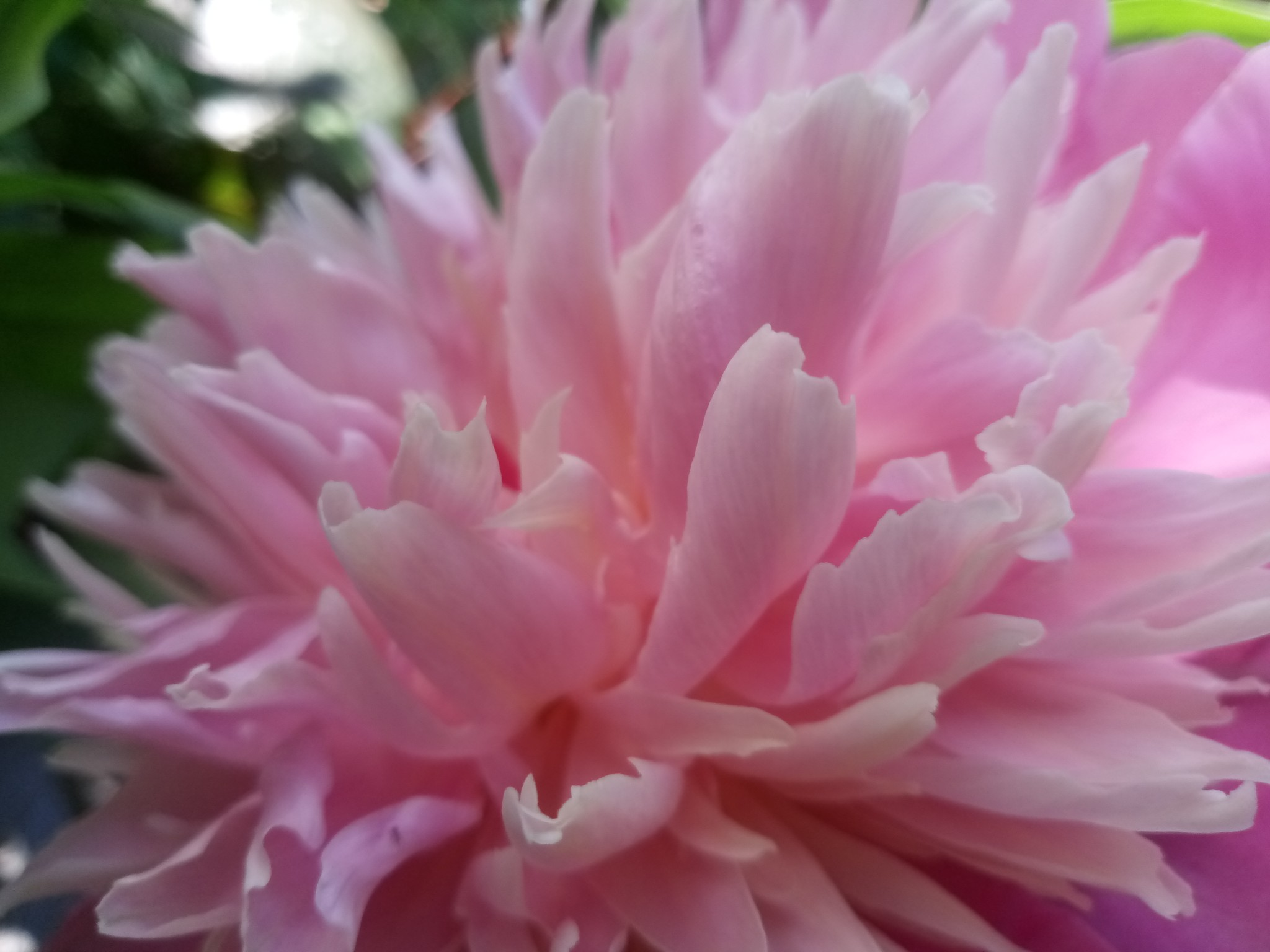 Peonies –12 beautiful photos