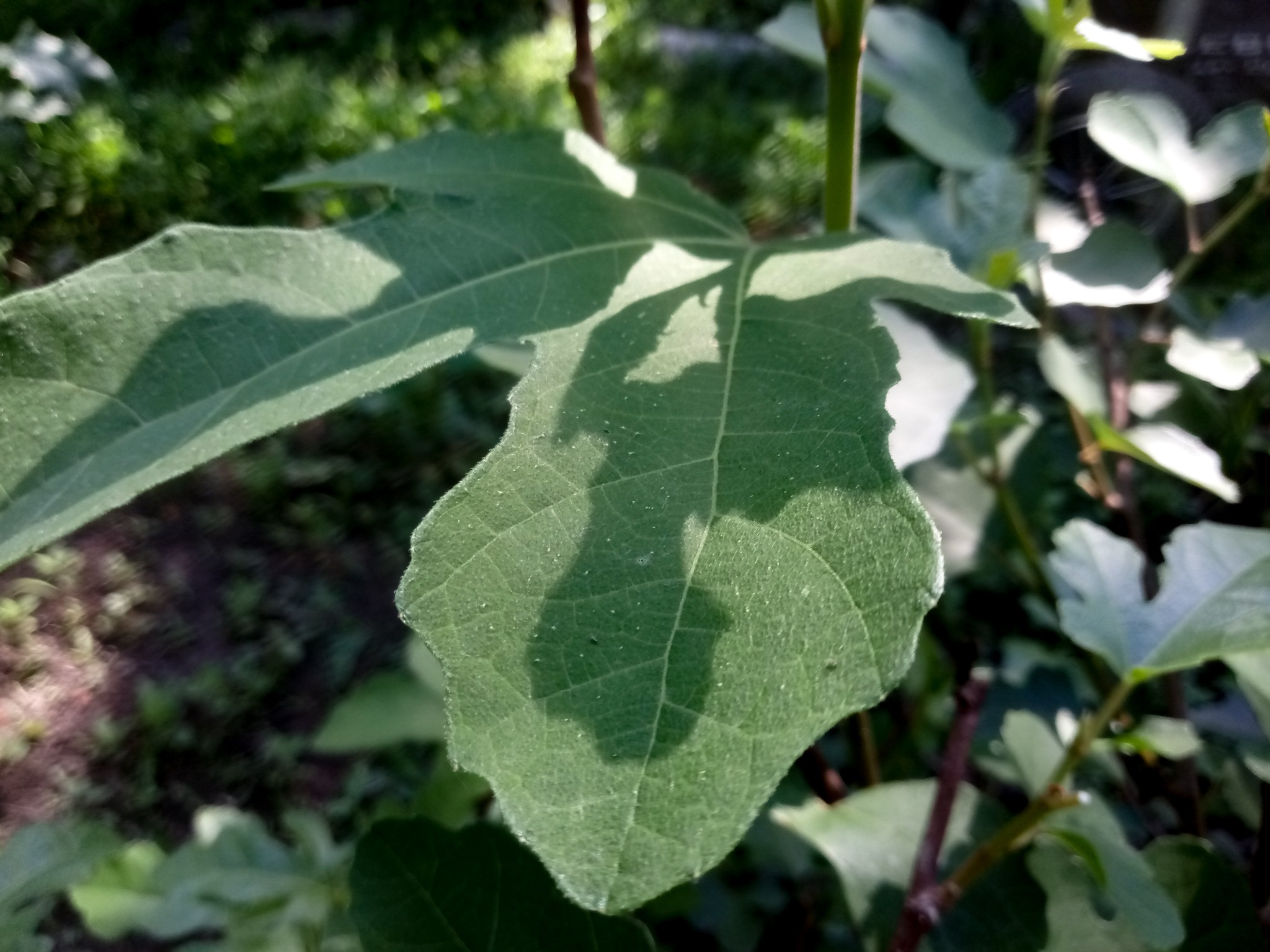 Fig leaves and fig tree photo
