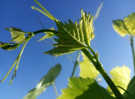 Green grape photo, grape photo