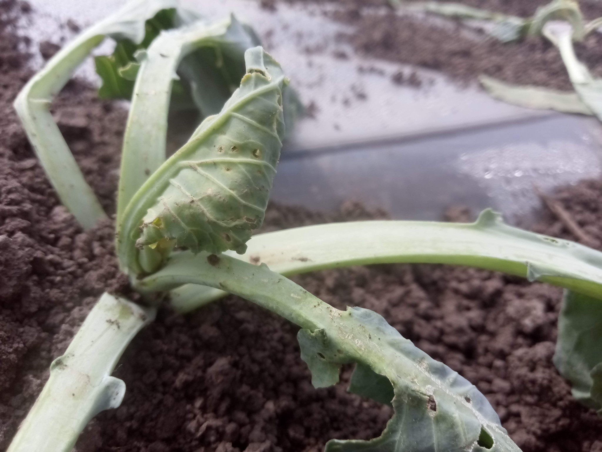 How does cabbage grow or how did the pandemic affect the cabbage business?